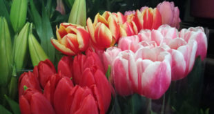 ¿Sabes cuántas flores se transportarán en San Valentín?