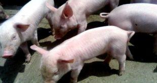 Repatriados hacen negocio con la crianza de cerdos en Tlaxcala
