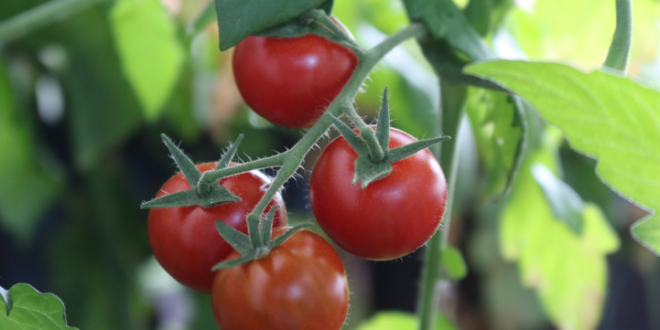 Mientras México respira aliviado, tomateros siguen combatiendo amenaza de aranceles