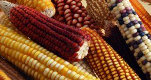 FAO, maíz