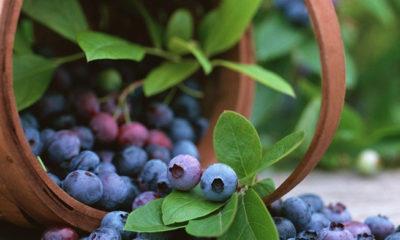 arándano azul / https://www.gob.mx/agricultura/