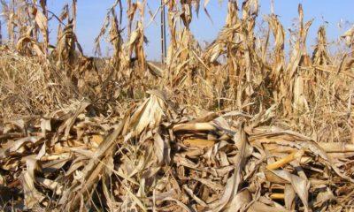 Aumenta en 365% área de cultivo siniestrada